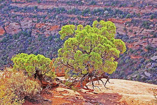 Trees Plateau Valley Colorado National Monument 2871 by David Frederick