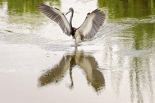 Tricolored Heron Angel Wings by Debra Martz