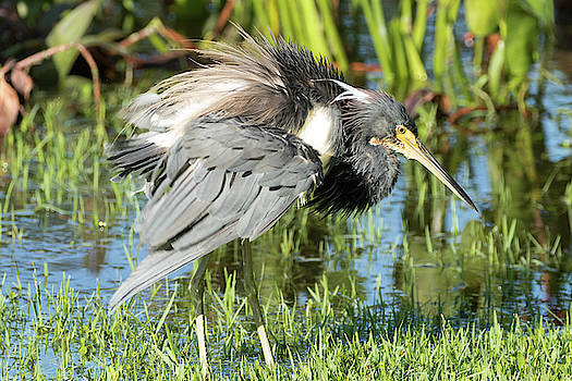 Tricolored Heron with Ruffled Feathers by Darrell Gregg