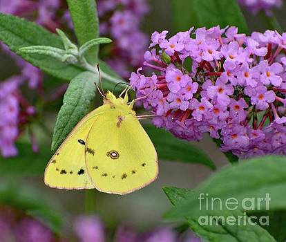 Cindy Treger - Trimmed in Pink- Orange Sulphur