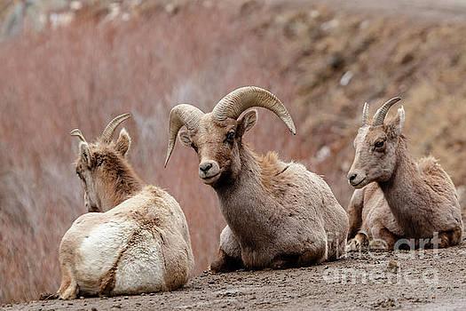 Trio of Bighorn Sheep Along the Platte River by Steve Krull