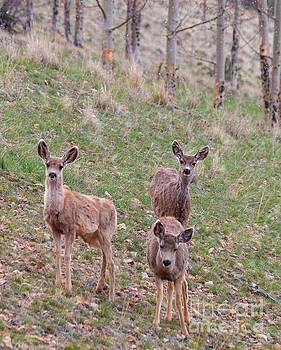 Steve Krull - Trio of Mule Deer Herd on a Snowy Morning