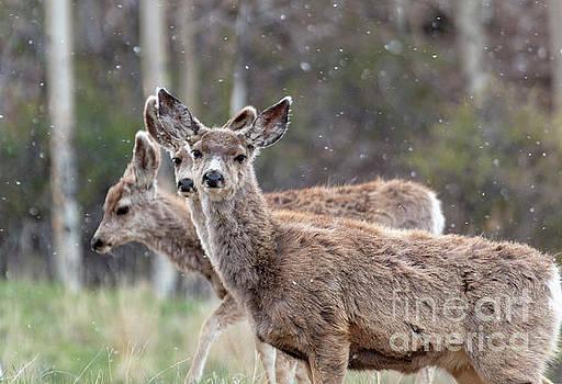 Trio of Mule Deer on a Snowy Morning by Steve Krull