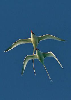 Tropic Birds Ballet Duo by Jim Austin Jimages