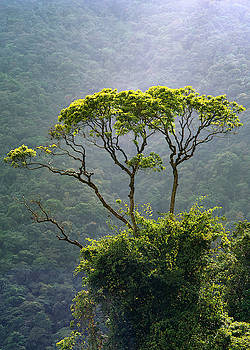 Tropical tree  by Eugenio Opitz