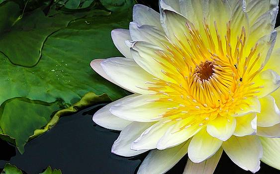 Tropical Water Lily  by Catherine Trevor-Roberts