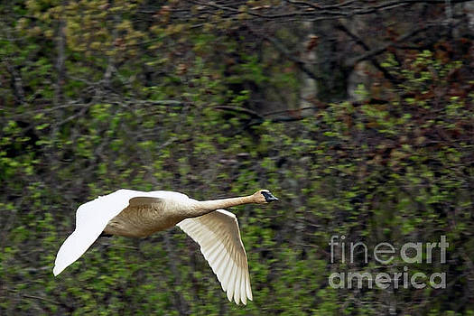 Trumpeter Swan Flight by Natural Focal Point Photography