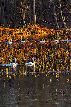Trumpeter Swans out for Morning Swim  by Rick Grisolano Photography LLC
