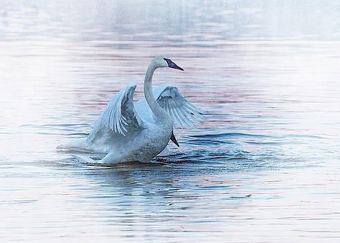 Rosette Doyle - Trumpeter Swans