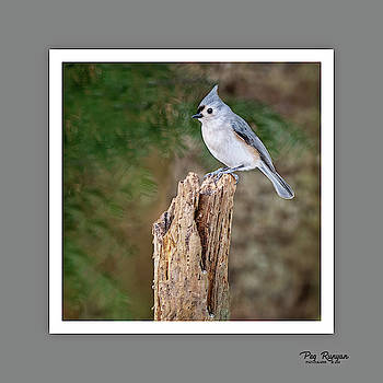 Tuesday's Tufted Titmouse by Peg Runyan