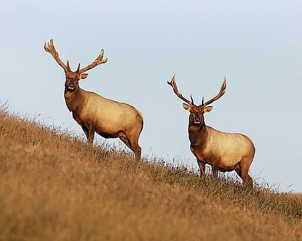 Tule Elk Bulls by Fred Hood