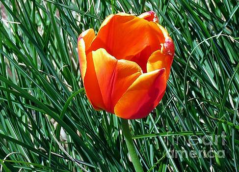 Tulip 16 by JudithAnne Monahan