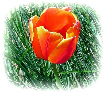 Tulip 17 by JudithAnne Monahan
