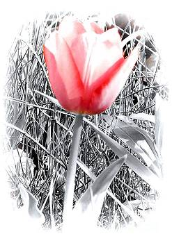 Tulip 19 by JudithAnne Monahan
