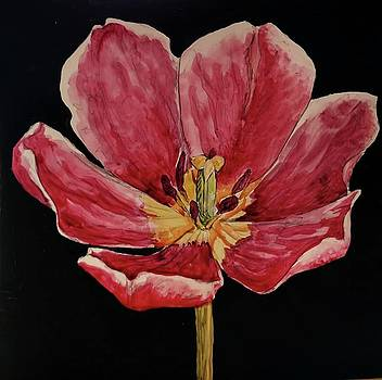 Tulip 2 by Beverly Harrison