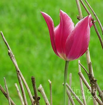Tulip 22 by JudithAnne Monahan