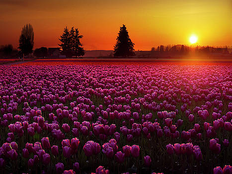 Tulip Field at Sunset by Penny Lisowski