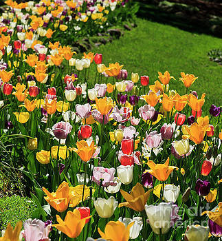 Tulip Flower Garden in a Springtime Yard by Jill Lang