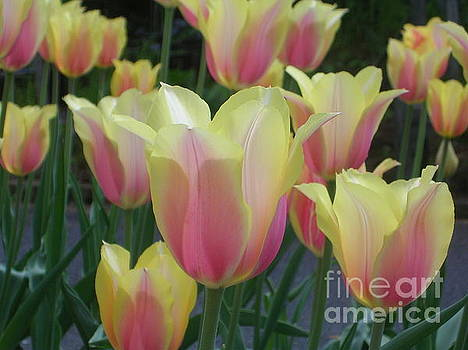 Tulip Love by Lisa Venable