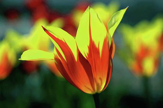 Tulip Treasure by Debra Orlean