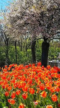 Tulips 1 by Vijay Sharon Govender