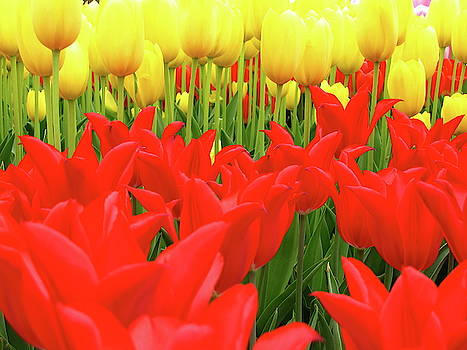 Tulips 2 by Jeffrey PERKINS
