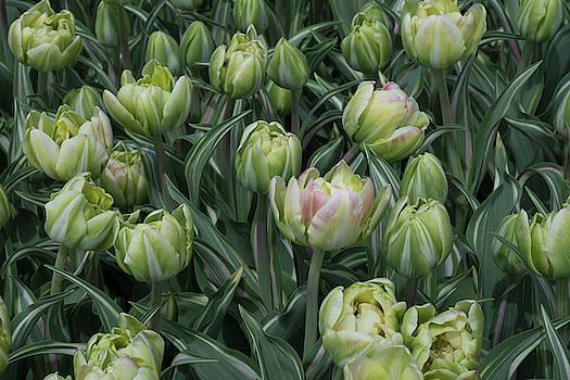 Tulips Galore by Eleanor Bortnick