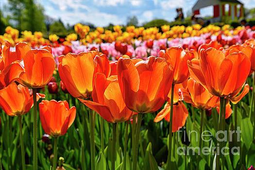 Tulips in Slovenia by Norman Gabitzsch