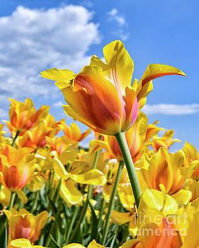 Tulips Orange and Yellow by Norman Gabitzsch