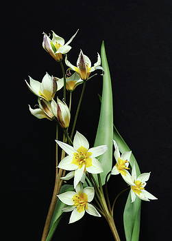 Tulips White And Yellow by Jeff Townsend