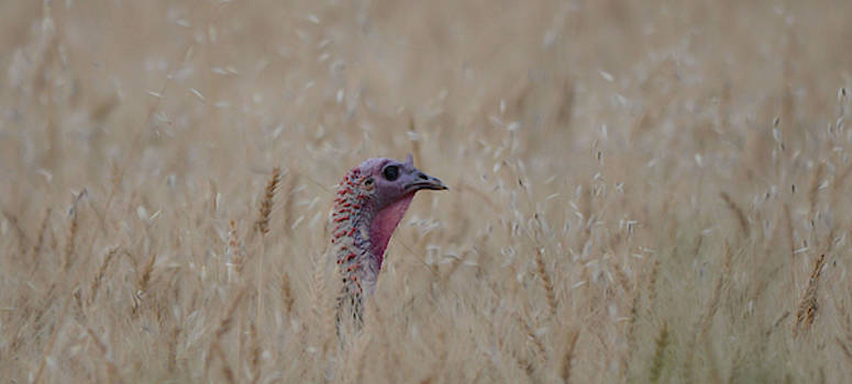Turkey on Wheat by Whispering Peaks Photography