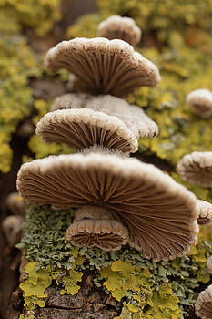 Turkeytail Mushroom  by Iris Richardson