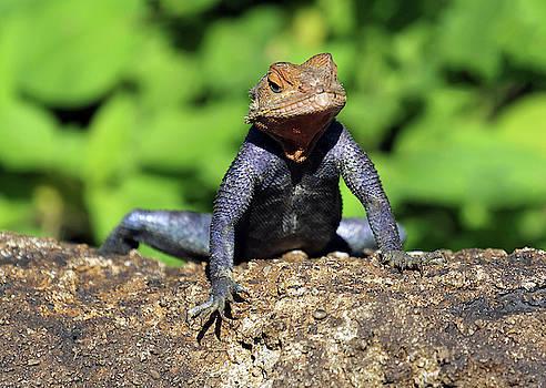 Tuxedo Lizard by Jennifer Robin