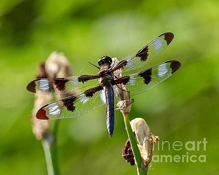 Twelve-spotted Skimmer Dragonfly by Susan Rydberg