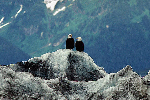 Two Bald Eagles Standing on a Glacier, Alaska by Wernher Krutein