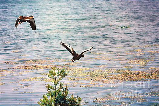 Diann Fisher - Two Black Bellied Ducks In Flight