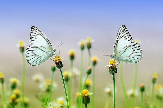 Two butterflies by Top Wallpapers