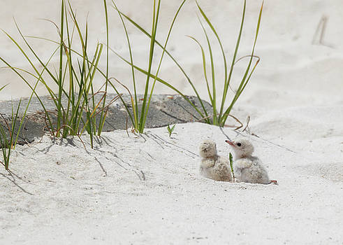Two Chicks on a Beach by Susan Rissi Tregoning