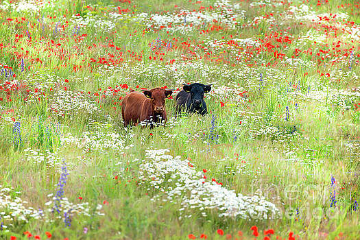 Simon Bratt Photography LRPS - Two cows in wild flower meadow