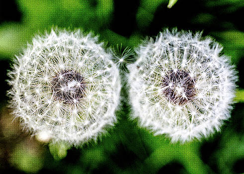 Two Dandelions by Tim Kirchoff