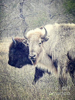 Two Friends- One Brown Buffalo One White Buffalo by Ella Kaye Dickey