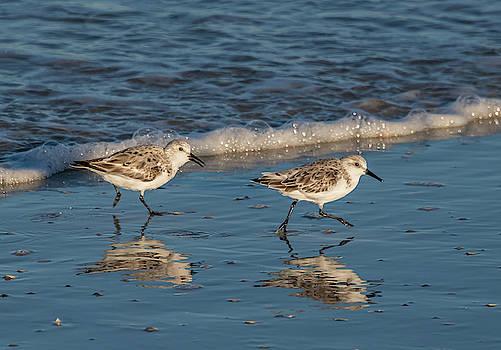 Two Sandpipers Feeding by Jeffrey Klug
