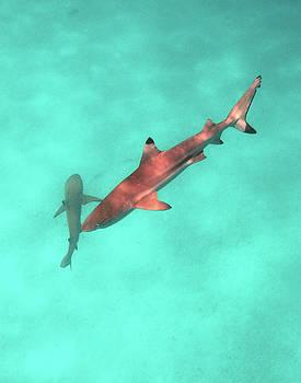 Susan Burger - Two Sharks in a Lagoon