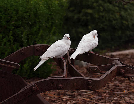 Two White Doves On Farm Equiptment 001 by Chris Flees