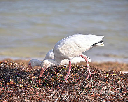 Two White Ibis in Florida by Catherine Sherman