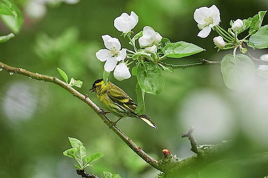 Under the flowers. Eurasian Siskin in the rain by Jouko Lehto