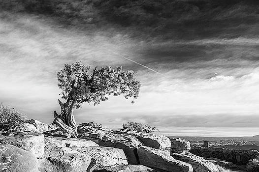 Utah Juniper Black and White Print by Stephanie McDowell