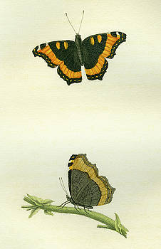 Vanessa furcillata by W W Wood