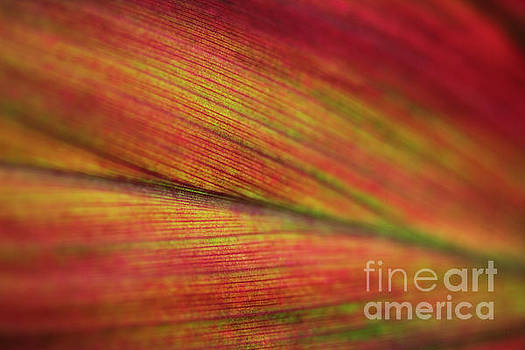 Variegated Ti Leaf by Charmian Vistaunet