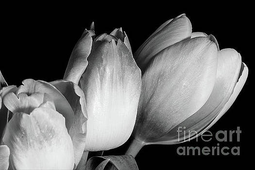 Variegated Tulips 2 by Mellissa Ray